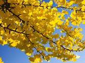 Meet Trees: Gingko Biloba