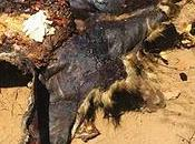 Mass Wildlife Poisoning Limpopo National Park