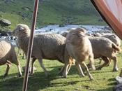 DAILY PHOTO: Campsite Sheep-nanigans