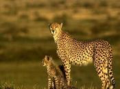 Cheetah Fastest Racing Towards Extinction