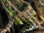 Looks Like Leopard Frog, Croak One!