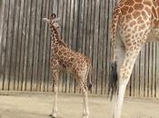 Oakland Zoo: Baby Giraffe!