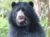 Featured Animal: Spectacled Bear