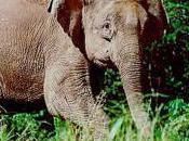 Featured Animal: Borneo Elephant