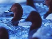 Gulls, Mink Nutrients Implicated Pochard Decline