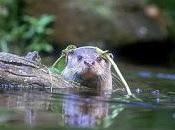 Volunteer Otter Spotters Needed Birmingham's Canals