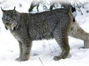 Study Says Road Threat Carnivores Underestimated Globally