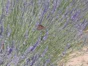 Lavender Soothes Senses Miguel Allende Spas