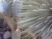 Palms Thorns