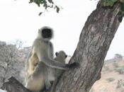 DAILY PHOTO: Grey Langur Tree