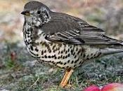 Red-listed Thrushes Turn Gardens