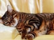 What Toyger Cat? Much Cats Cost?