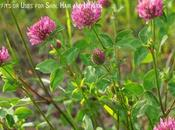 Clover Benefits Uses Skin, Hair Health