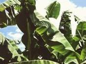 Cultivation Benefits Different Cultivars Banana