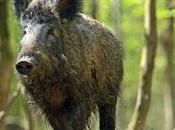 Bowhunting Wild Hogs: Where Shoot With Bow?