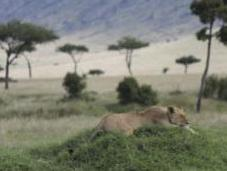 Keeping Lions from Livestock Building Fences Save Lives