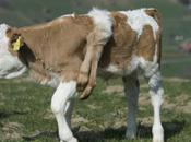 Lilli Cow, Born With Legs, Everything Live