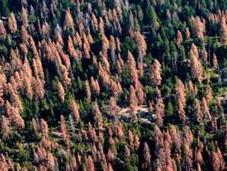 Dead Trees Stoke Wildfire Fears