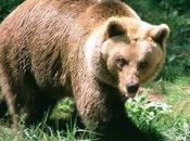 Pastoralism Brown Bear Drives Hundreds Sheep Suicidal Jump