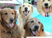 Join Golden Retriever Twitter Chat #GoldensChat