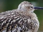 Glimmer Hope Curlew Britain