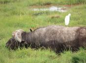 DAILY PHOTO: Cape Buffalo with Egret