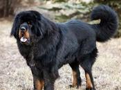 Tibetan Mastiffs Craze Wanes Loiter Streets