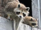 Best Raccoon Proof Feeders Keep Raccoons Food?