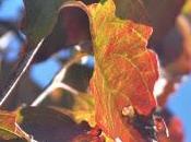 Dogwood Leaves Autumn