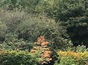 Cercidiphyllum Autumn