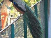 DAILY PHOTO: Peacock