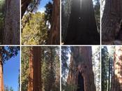 Healing Light Sequoia Trees