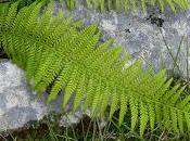 Press Release: Ancient Ferns Highly Threatened Europe IUCN List