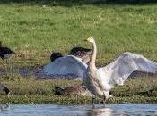 [Press Release] Swan Late! First Bewick's Finally Landed Slimbridge