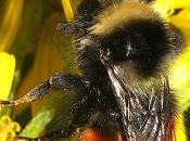 [Press Release] Funding Success Offers Hope Britain's Rarest Bumblebees.