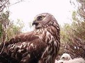 [Press Release] Project Sees Highest Number Fledged Harriers
