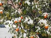 Citrus Freeze Damage What Should