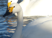Missing Mate Oldest Living Gloucestershire Swan Dynasty Arrives from Russian Arctic Weeks Late!