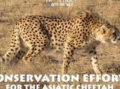 Conservation Efforts Asiatic Cheetah