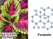 Forskolin Weight Loss Does Really Work?