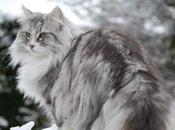 Norwegian Forest Everything Should Know About This Cats