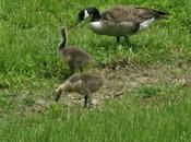 Mother Goose (and Father Too)