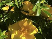 Rambunctious Yellow Rose