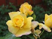 GBBD June 2018 About Roses