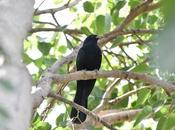 பாரதியாரின் குயில்பாட்டு Indian Koel Songbird