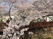 Joining Cherry Blossom Loving Crowds Jinhae