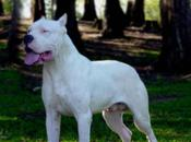 Dogo Argentino Surprising with Power Dominance