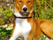 Between Best Hunting Dogs Shows Great Basenji Breed