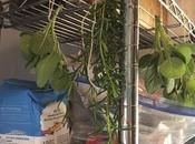 Freezing Drying Woody Herbs
