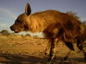 Resource Available About Brown Hyaenas Private Land